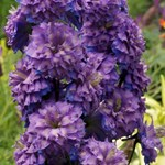 Delphinium Highlander 'Sweet Sensation'