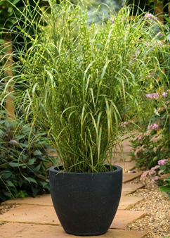 Miscanthus 'Gold Breeze'