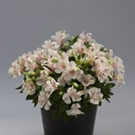 Alstroemeria Little Miss 'Natalie'