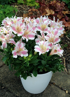 Alstroemeria Little Miss 'Sophie'