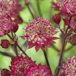 Astrantia 'Star of Love'