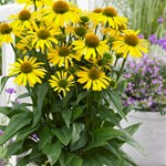 Echinacea 'SunSeekers Yellow'