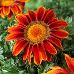 Gazania Giant 'Bronze Striped'