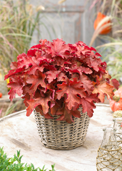 Heuchera 'Cranberry'