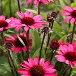 Echinacea 'SunSeekers Purple'