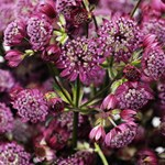 Astrantia 'Abbey Road'