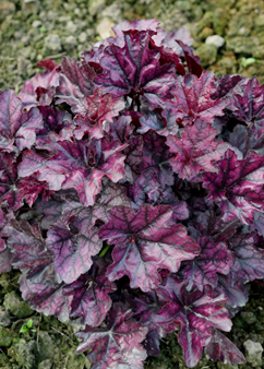 Heuchera 'Mulberry'