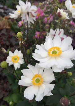 Anemone 'Snow Angel'