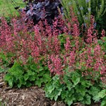 "Heuchera ""Berry Timeless"""