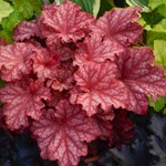 "Heuchera ""Peachberry Ice"""