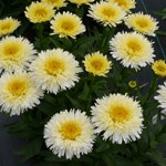 "Leucanthemum ""Kings Crown™"""