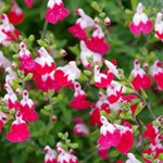 "Salvia ""Little Kiss"""