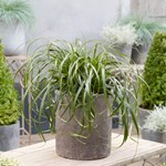 Carex 'Ribbon Falls'