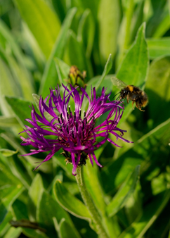 Centaurea 'Amethyst Dream'