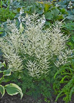 Aruncus 'Fairy Hair'