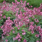 Dicentra 'Pink Diamonds'