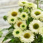 Echinacea 'SunSeekers White Perfection'