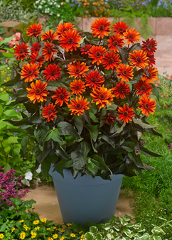 Heliopsis 'Fire Twister'