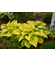 Hosta 'Shadowland ™ Coast to Coast'