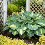 Hosta 'Shadowland ™ Hudson Bay'