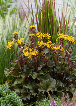 Ligularia 'Little Golden Ray'