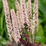 Actaea 'Pink Spike'
