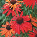 Echinacea 'Hot Summer'