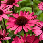Echinacea 'Summer Cloud'